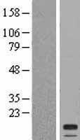 NBL1-09545 - CST2 Lysate