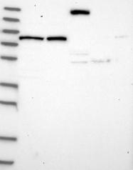 NBP1-85428 - CSTF3