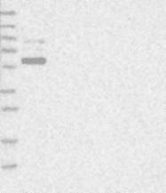 NBP1-88045 - GPATCH2
