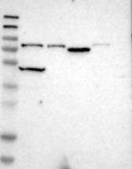 NBP1-83007 - KIAA0427