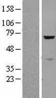 NBL1-09578 - CTNNBL1 Lysate