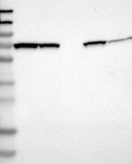NBP1-86055 - CTP synthase 2