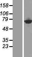 NBL1-09581 - CTPS2 Lysate