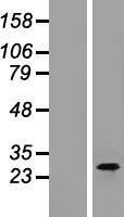 NBL1-08344 - CTRP3 Lysate