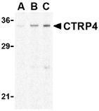NBP1-76630 - C1QTNF4