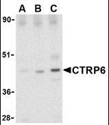 NBP1-76633 - C1QTNF6
