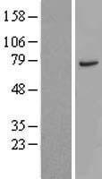 NBL1-09602 - CTTNBP2NL Lysate