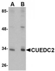 NBP1-77334 - CUEDC2