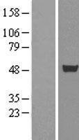 NBL1-09604 - CUGBP1 Lysate