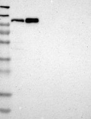 NBP1-86099 - Cullin-4B