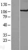 NBL1-09610 - CUL4B Lysate