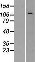 NBL1-12271 - CWC22 Lysate