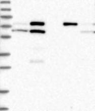 NBP1-83793 - CWF19L1