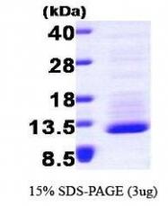 NBP1-30220 - Fractalkine / CX3CL1