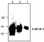 NBP1-45373 - CXCL13 / BCA1