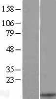 NBL1-09624 - CXCL13 Lysate