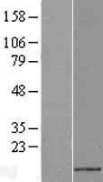 NBL1-09625 - CXCL14 Lysate
