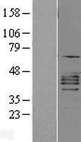 NBL1-11969 - CXCR2 Lysate