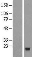 NBL1-10465 - CXX1 Lysate