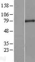 NBL1-09648 - CXXC1 Lysate
