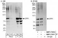 NBP1-71916 - CpG-binding protein