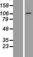 NBL1-09637 - CXorf20 Lysate