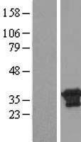 NBL1-09639 - CXorf26 Lysate