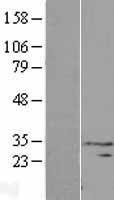 NBL1-09643 - CXorf41 Lysate