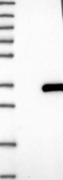 NBP1-82097 - CXorf56