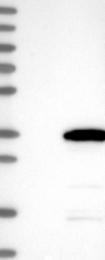 NBP1-82098 - CXorf56