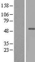 NBL1-09646 - CXorf59 Lysate