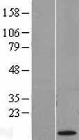 NBL1-09647 - CXorf61 Lysate