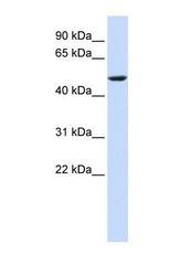 NBP1-60118 - Cytochrome b561