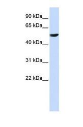 NBP1-60119 - Cytochrome b561