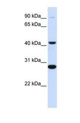 NBP1-69701 - Cytochrome b561