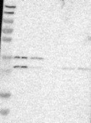 NBP1-83422 - Cytochrome b561