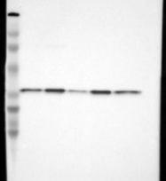 NBP1-84252 - CYB5R3