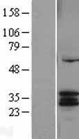 NBL1-09661 - CYC1 Lysate