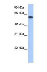 NBP1-54758 - CYP11A1