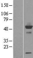 NBL1-09677 - CYP20A1 Lysate