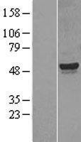 NBL1-09679 - CYP26A1 Lysate