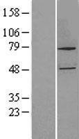 NBL1-09682 - CYP27B1 Lysate