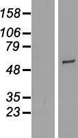 NBL1-09689 - CYP2R1 Lysate