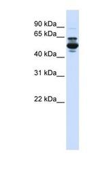 NBP1-69413 - CYP3A43
