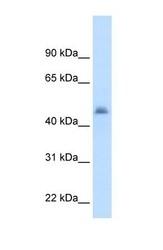 NBP1-62387 - CYP3A7