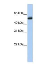 NBP1-69677 - CYP4B1