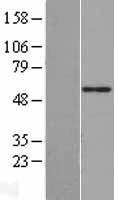 NBL1-09703 - CYP51A1 Lysate