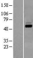 NBL1-09704 - CYP7A1 Lysate