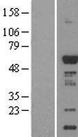 NBL1-08660 - CaMKI gamma Lysate
