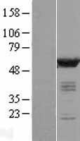 NBL1-08664 - CaMKII delta Lysate